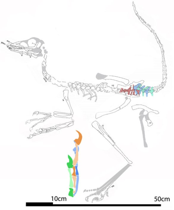 Figure 6. Daliansaurus reconstructed from the original tracing.