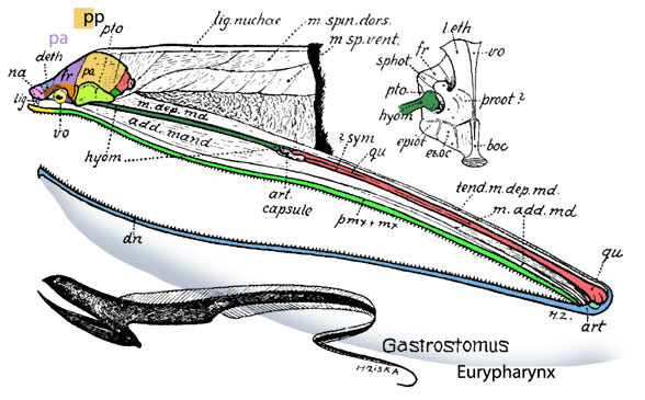 Figure 1. The skull of Eurypharynx from Gregory 1936 with colors added. Compare to Gymnothorax in figure 2.