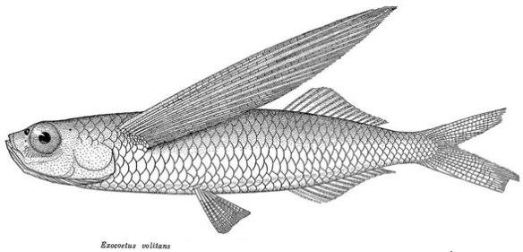 Figure 2. Flying fish (Exocoetus volitans) line drawing.