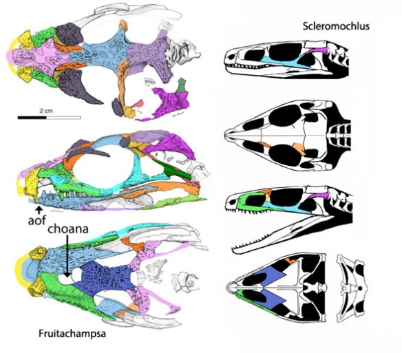 Figure 2. Fruitachampsa skull to scale with Scleromochlus skull.