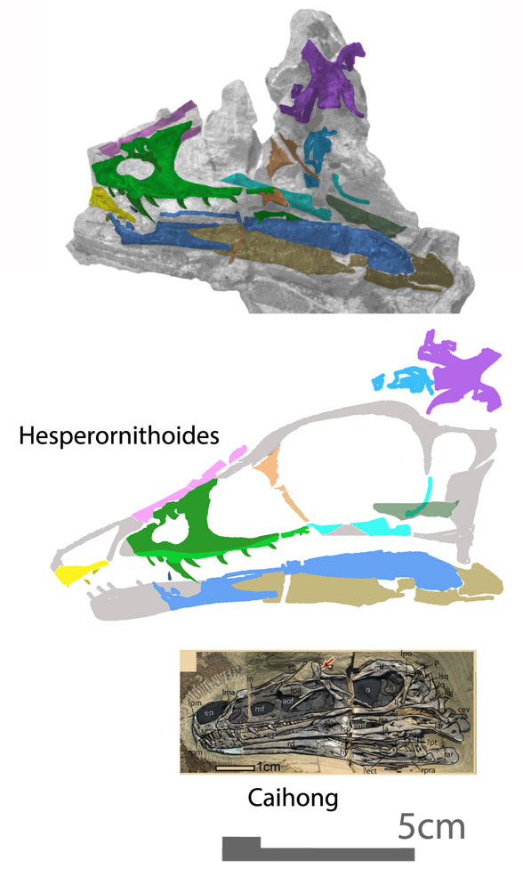 Figure 2. Tentative restoration of the skull of Hesperornithes alongside to scale skull of Caihong. The maxillae are similar and both have a distinct fang.