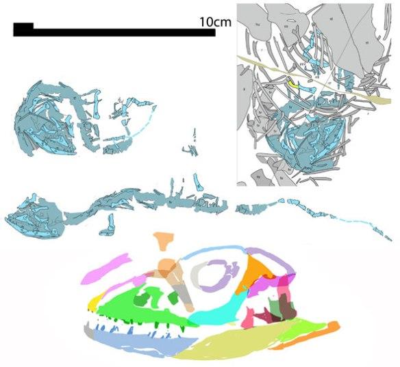 Figure 1. Indrasaurus reconstructed.