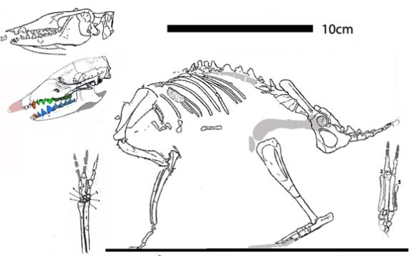 Figure 2. Leptictis, an early Oligocene elephant shrew.