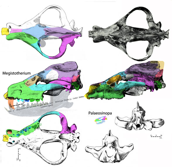Figure 1. Megistotherium skull in several views. It is 2/3 of a meter in length. Don't overlook the skull of tiny relative, Palaeosinopa with a 10cm skull length.