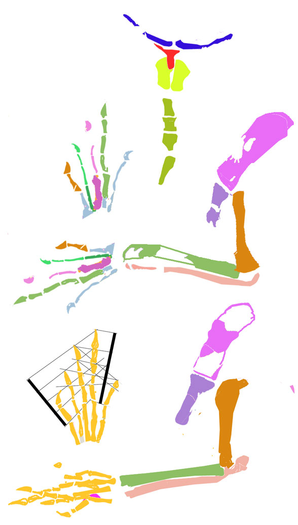 Figure 5. Microdocodon pectoral and forelimb reconstruction from DGS traced elements.