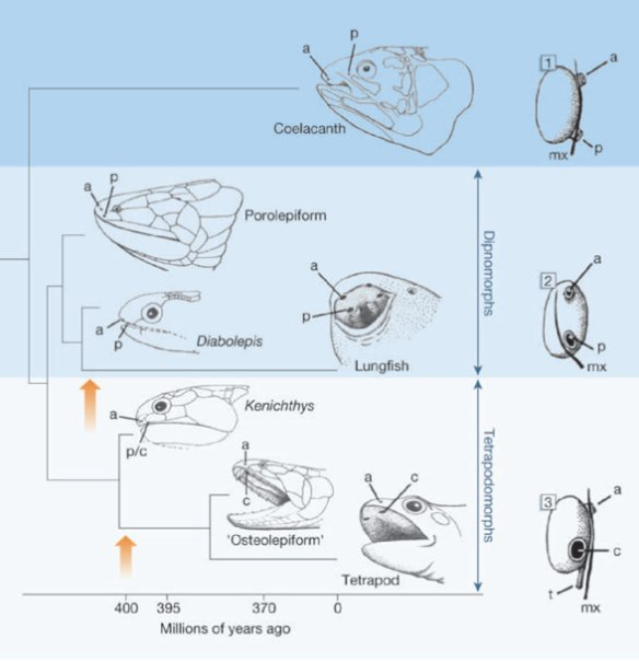 Figure 1. From Janvier 2015, evolution of the internal naris (choana) from primitive dual external nares.
