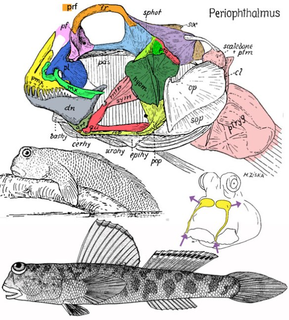 FIgure 2. The mudskipper (genus: Periophthalmus) is close to Diodon in the LRT.