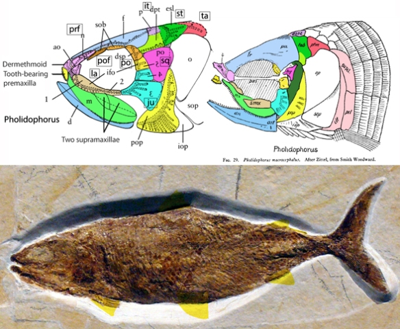 Figure 2. Pholidophorus in situ + two skull drawings relabeled with tetrapod names.