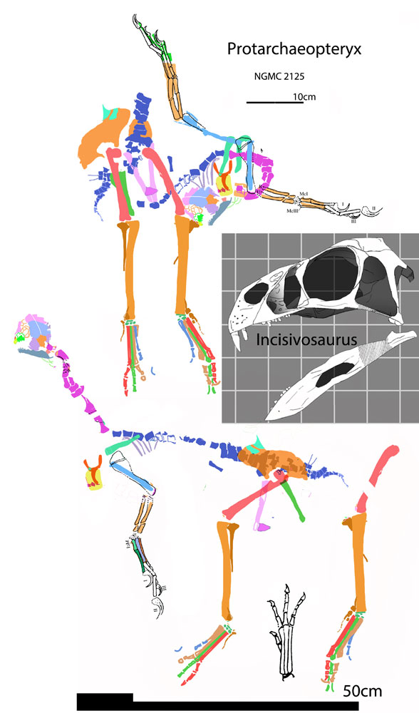 Figure 9. Protarchaeopteryx traced in situ, reconstructed a bit and the skull of Incisivosaurus for comparison.