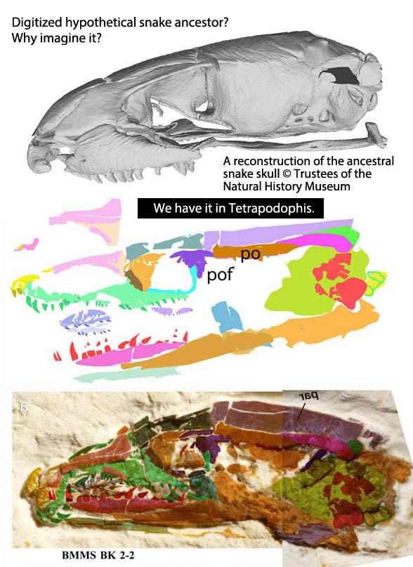 Figure 1. Hypothetical ancestral snake skull compared to real ancestral snake skull.