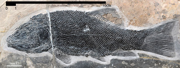 Figure 1. Robustichthys in situ.