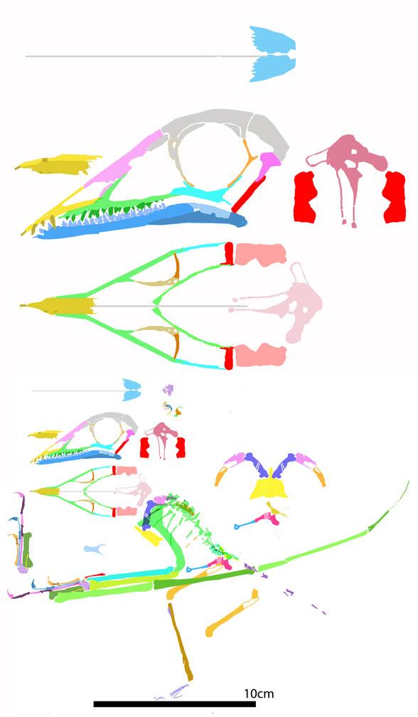 Figure 3. Seazzadactylus reconstructed using DGS methods.