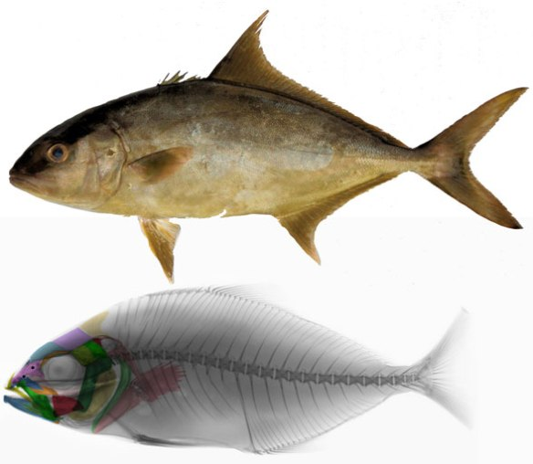 Figure 3. Seriola rivoliana is the high fin Amberjack is basal to gobies and tetraodontiformes.