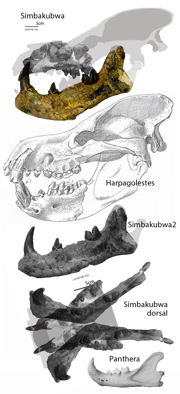 Figure 1. Simbakubwa from Broths and Stevens 2019, colors added, and compared to a lion mandible. Note the two medial views of the mandible with different shapes. Dorsal view of indented mandible and palate is similar to hippos.