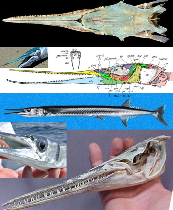 Figure 5. Tylosurus, the needlefish, in several views. This taxon links swordfish to flying fish and links this clade to barracudas + pikes and to garfish (Lepisosteus).