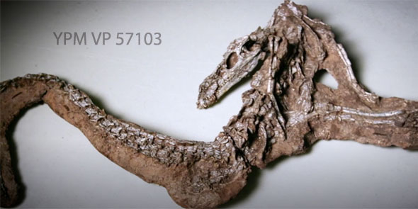 Figure 3. The so-called 'little foot' specimen found with Poposaurus in Utah. YPM-VP-57103