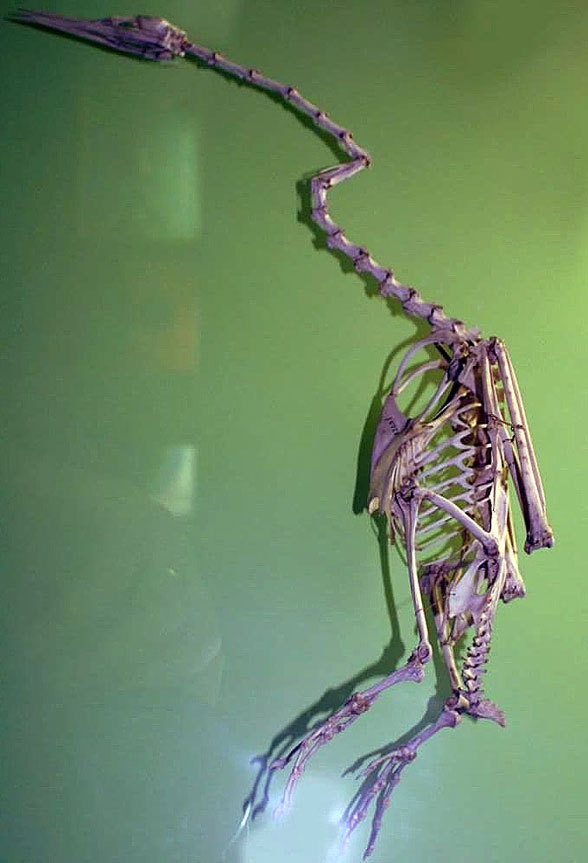 Figure 3. Anhinga anhinga skeleton. Note the large number of cervical vertebrae. These enable the snake-like darting of the sharp skull while attacking prey underwater.