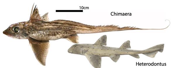 FIgure 1. Ratfish (chimaera) and Heterodontus to scale.