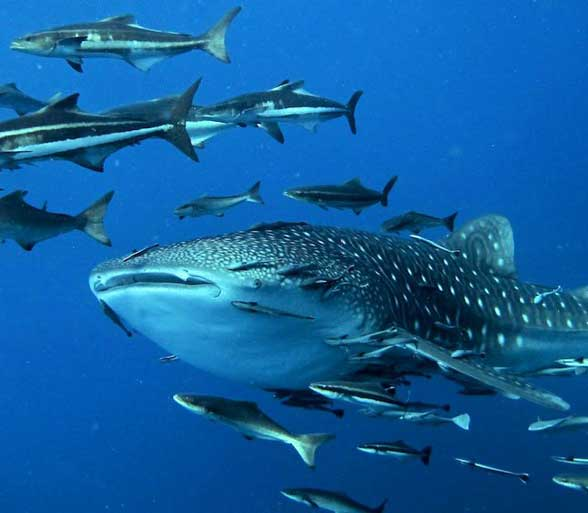 FIgure 7. Cobia and remora surrounding a whale shark. Cobia have to work harder to keep up. Remora rather easily hitches a ride instead.