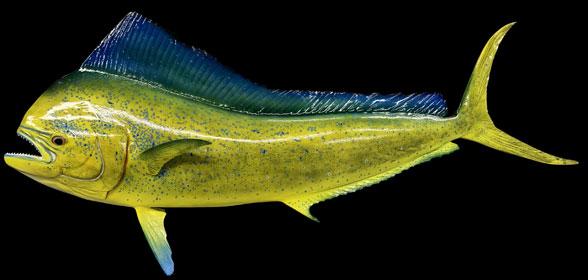 FIgure 1. Mahi-mahi (Coryphaena) mounted as if in vivo.