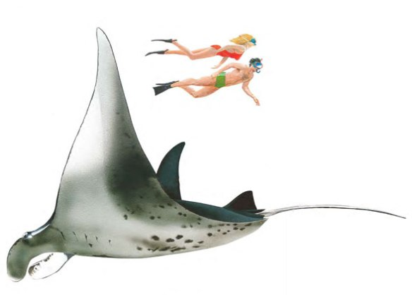 Figure 1. The largest manta ray to scale with humans.