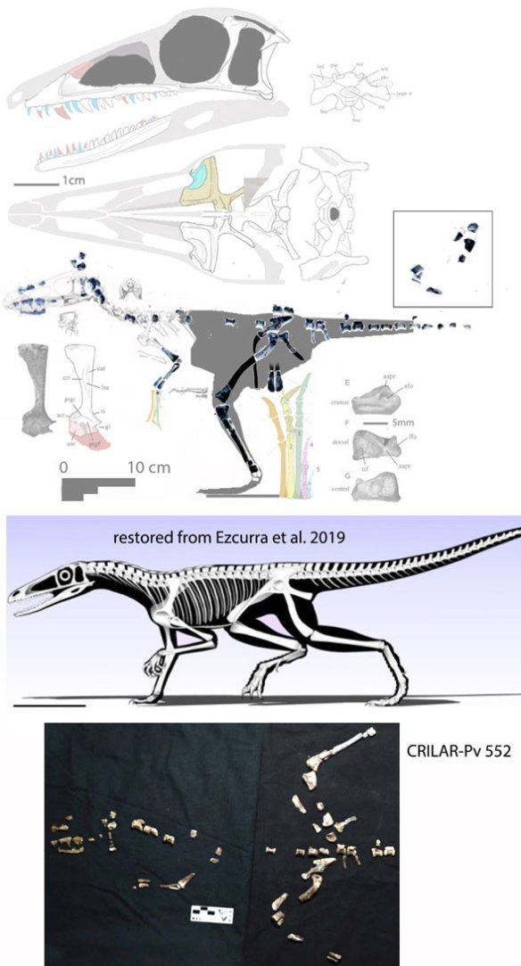 Figure 1. Combining anterior traits from Lewisuchus and limb traits from Pseudolagosuchus, CRILAR-Pv 552 appears to ally the two taxa. Here are two restorations. Ezcurra et al. prefer the quadrupedal pose. The LRT indicates Lewisuchus was bipedal based on limb size disparity.