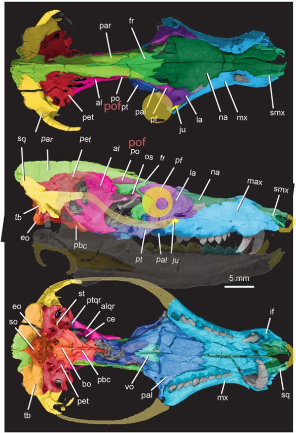 Figure 1. Pseudotherium from Wallace, Martinez and Rowe 2019, eyeball, premaxilla and mandible added here.