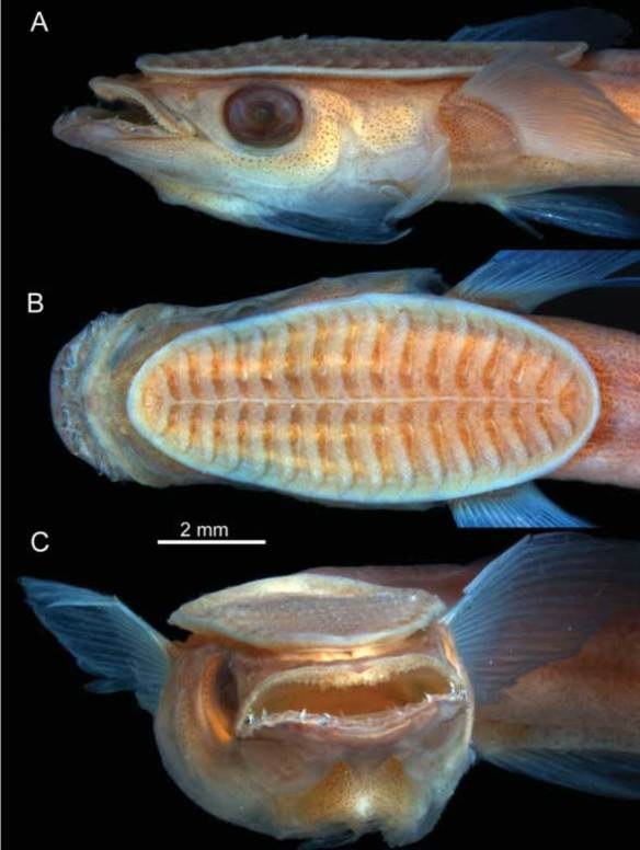 Figure 1. The head of a remora showing in three views of the adhesion disc that make this fish the one and only 'shark-sucker.'