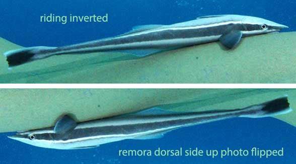 Figure 2. A remora attached to a much larger shark with an adhesion disc atop its head. Gone are the 6 to 9 dorsal spines.