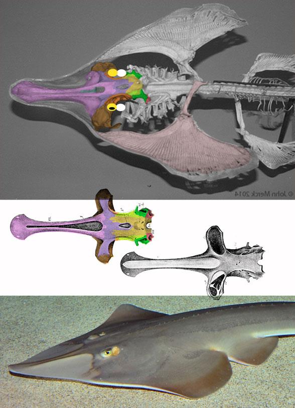 Figure 5. Guitarfish (Rhinobatos) skull. Colors, eyeballs and spiracles added.