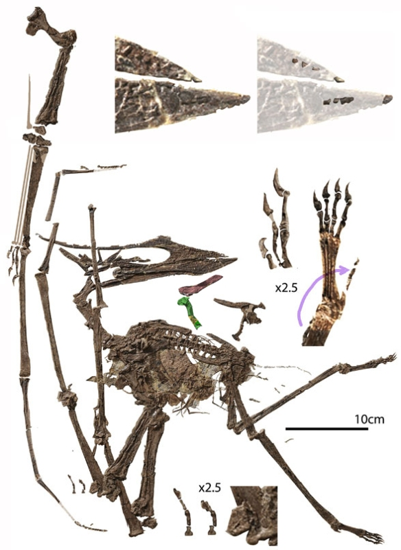 Figure 1. Sinopterus atavismus, matrix removed. Snout tip, fingers and toes enlarged to show detail.