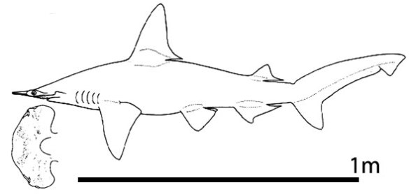 Figure 1. The small hammerhead shark, Sphyrna tutus, is best appreciated in dorsal or ventral view.
