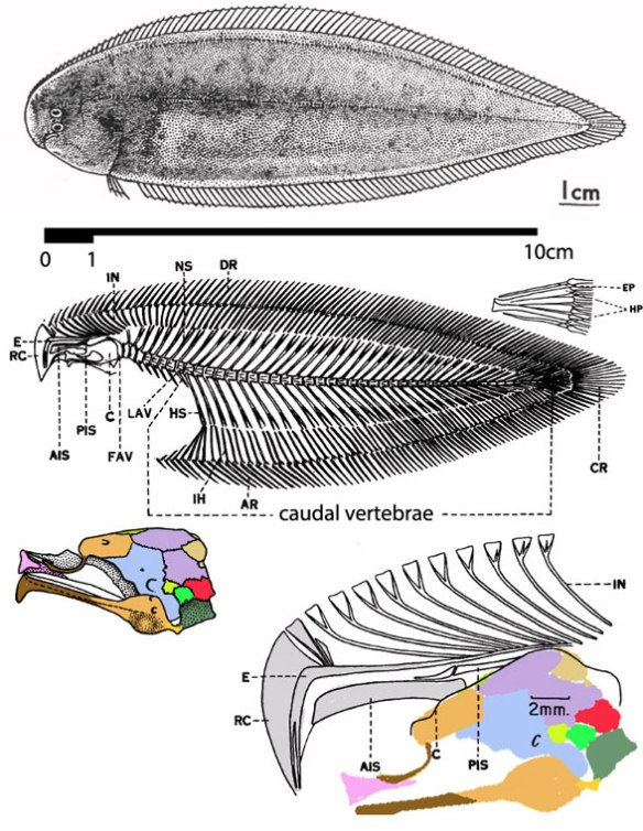 FIgure 6. Cynoglosses is the extant tongue sole, a flatfish so derived that the pectorals are absent, the tail is continuous with the dorsal and anal fins, the mouth is no longer terminal and both eyes are in the ventral half of the left side of whatever remains of the skull.
