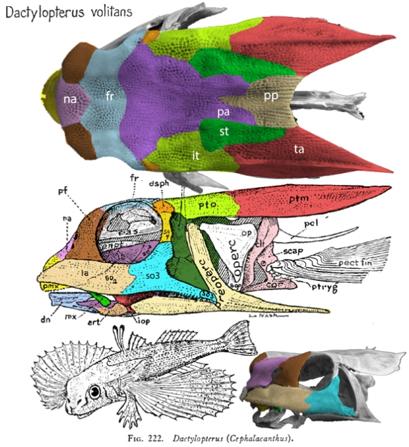 Figure 1. Dactylopterus skull with colors added to match tetrapod taxa.