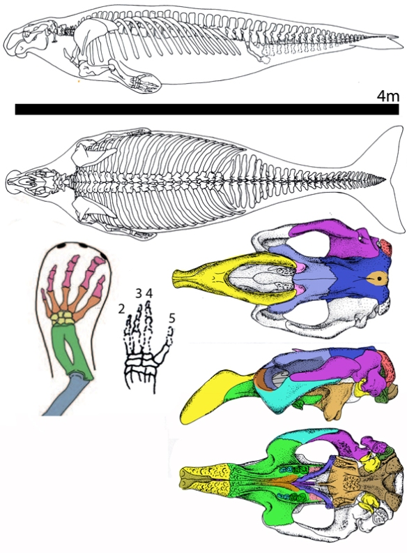 Figure 2. Dusisiren, a manatee sister has a robust tail and presumably, flukes.