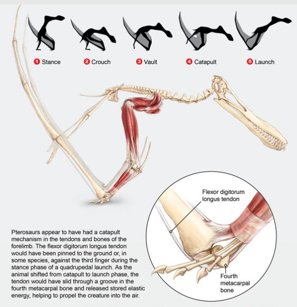 Figure 9. Quad launch hypothesis from Habib's SciAm article. He cheats the position of metacarpals 1-3 and does not show what happens after the leap.