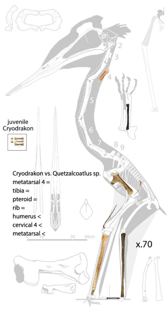 Figure 2. The most complete Cryodrakon compared to the most complete Q. sp. Most elements are identical in size when scaled x.70 to match tibia lengths, but the cervical, metatarsal and humerus are relatively smaller in Cryodrakon.