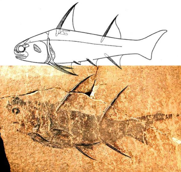 Figure 3. Diplacanthus, a Mid-Devonian acanthodian with proportions similar to those of a young Hybodus, shorter with longer spines.