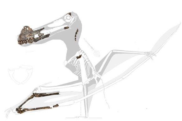 Figure 2. Ferrodraco scaled to Arthurdactylus. Note the robust antebrachium in Arthurdactylus vs. the gracile antebrachium in Ferrodraco.