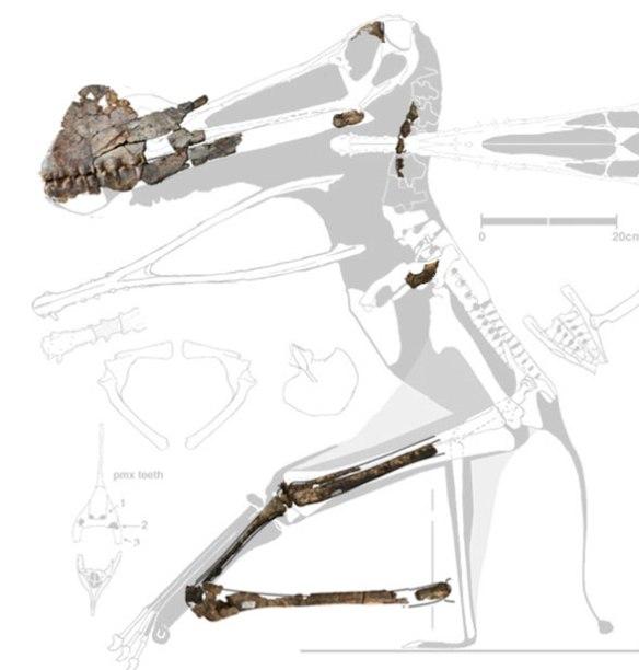 FIgure 3. Ferrodracto compared to Coloborhynchus to the same scale.