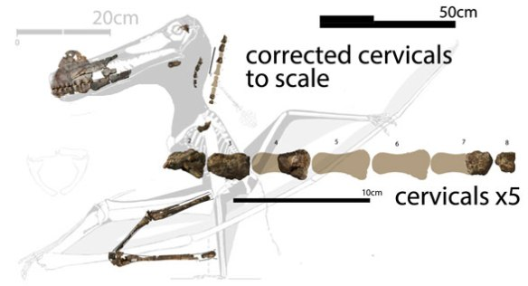 Figure 5. Added late. The cervicals restored and to scale creating a neck of appropriate length.