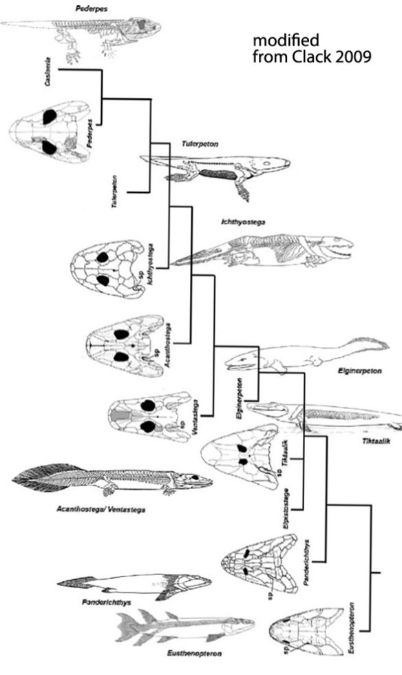 Figure 1. Modified from Clack 2009 showing the taxa in the transition from fins to feet.