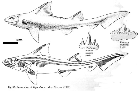 Figure 1. Diagram of Hybodus in vivo and skeleton plus teeth.