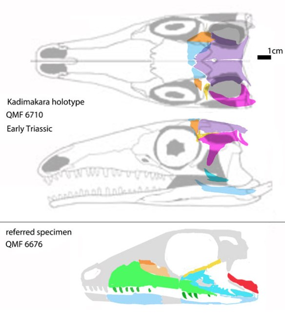 Figure 2. Kadimakara holotype restored with Prolacerta, above. Referred specimen restored below.