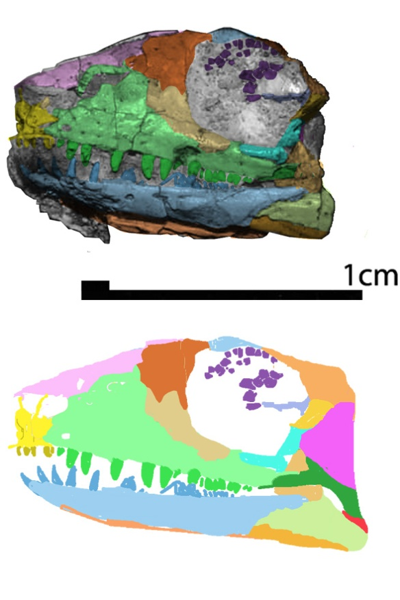 Figure 1. Kudnu colorized using DGS and slight restored postcranially, shown 10x natural size at a 72 dpi standard screen resolution. Here's a taxon basal to Stephanospondylus, pareiasaurs and turtles. Prior workers excluded Stephanospondylus from their studies.