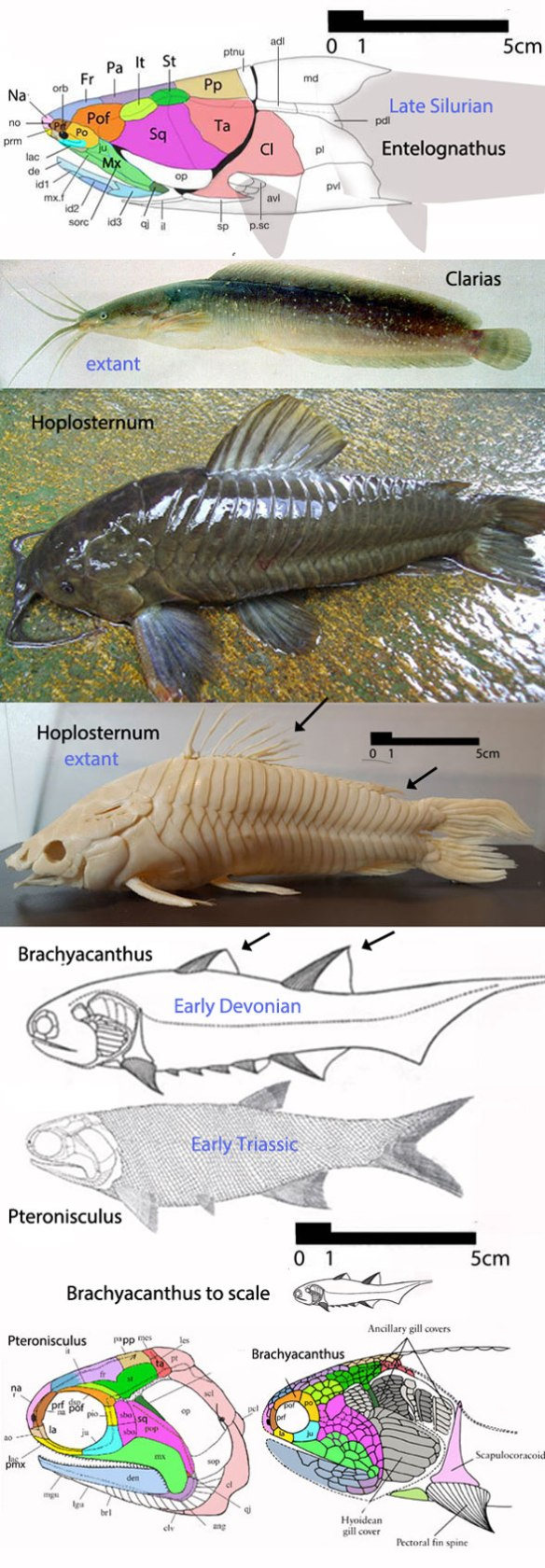 Figure 2. The placoderm/catfish to spiny shark/lobe fin transition. We need more taxa, but here's how the LRT recovers it.