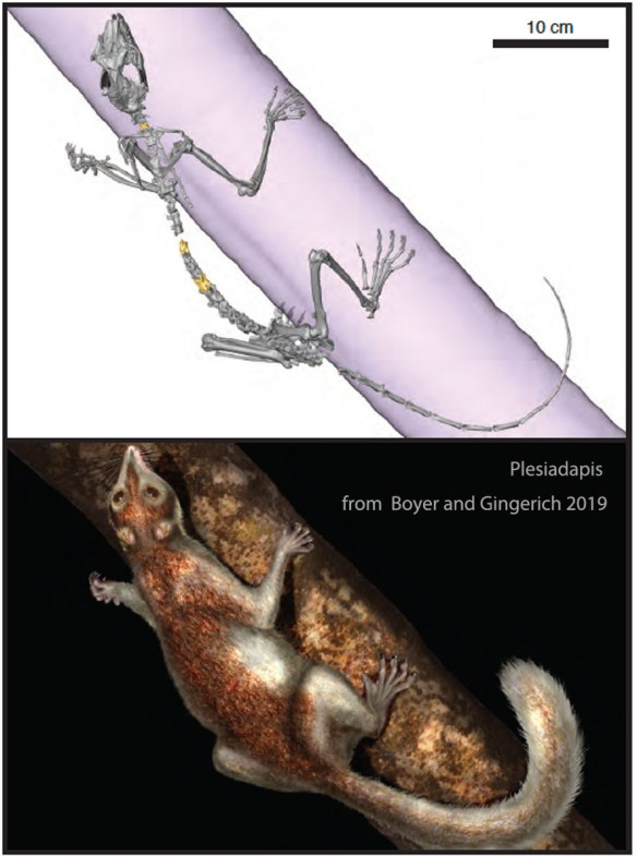 Figure 1. From Boyer and Gingerich 2019, Plesiadapis skeleton and in vivo.