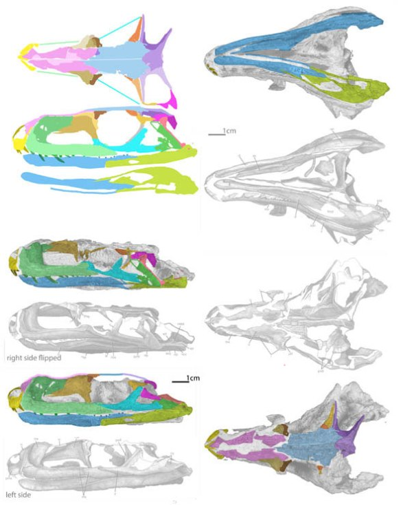 Figure 1. The skull of PVL 4597 in several views from the 2013 PhD thesis of A. Leucona. Colors added.