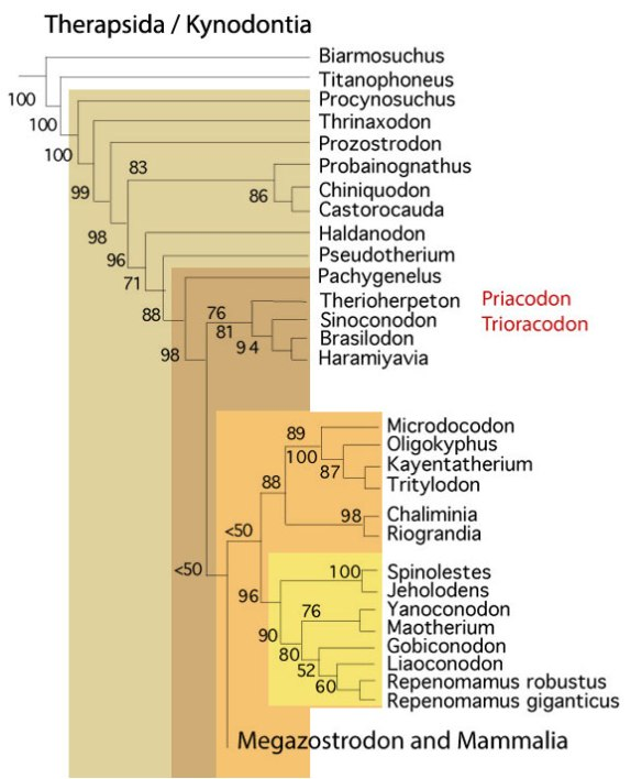 Figure x. Subset of the LRT focusing on therapsids, like Repenomamus, leading to mammals.