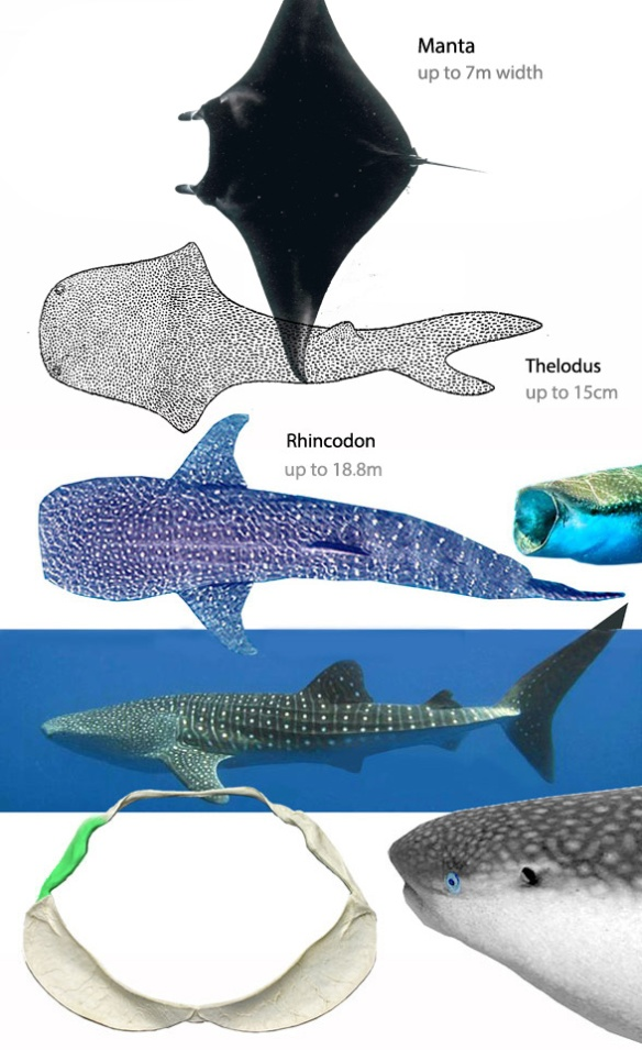 Figure 4. Manta compared to Thelodus and Rhincodon. All three have a terminal mouth essentially straight across, between the lateral eyes.